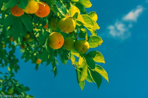 インスタグラムにアップしている柿の画像