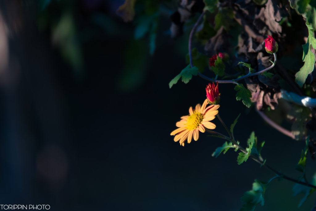 「日陰のコスモス」の画像