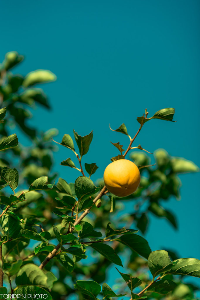 D750で撮影した柿の画像