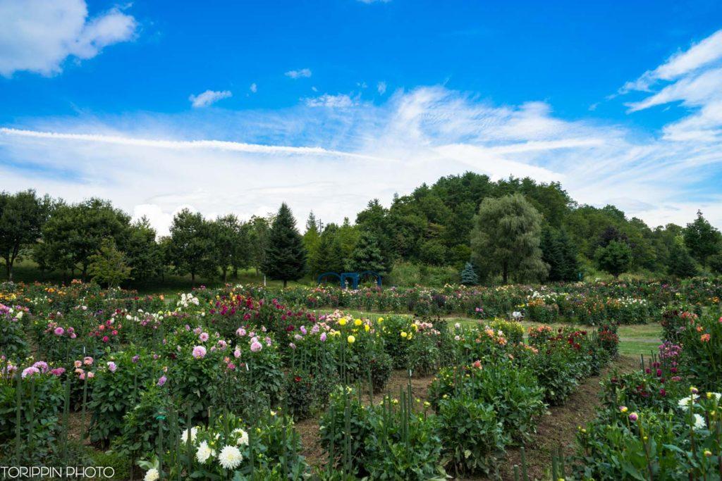 ダリア園のお花の様子
