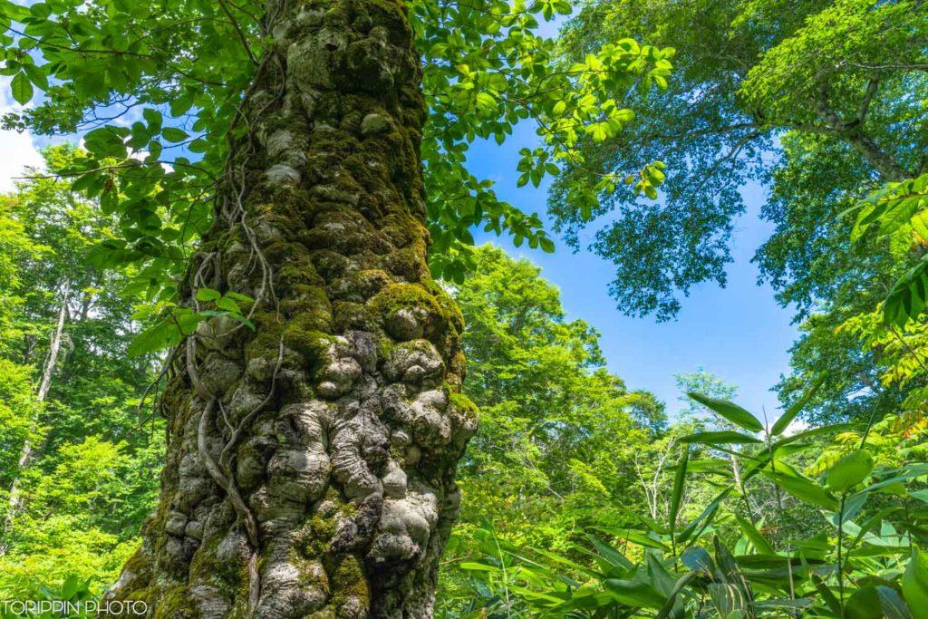 ボコボコした樹を撮りました。