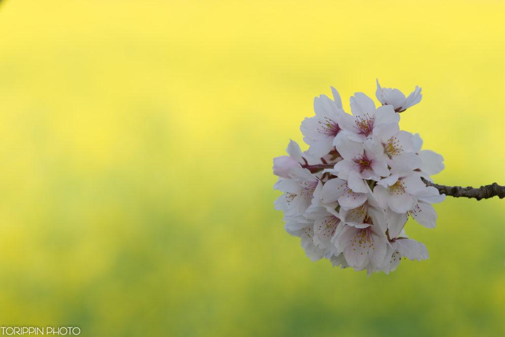 飯山市菜の花公園の菜の花を背景に桜を撮影