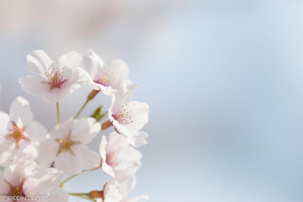 青空の下で生き生きとした桜の花を接写した画像
