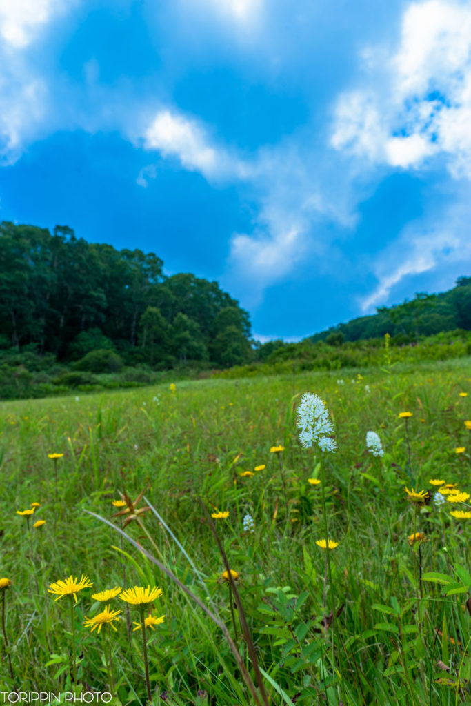 SAL24F20Zで北ドブ湿原のお花たちを撮影