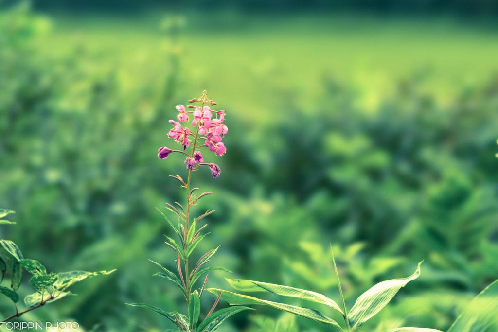 STFで湿原のお花を撮りました