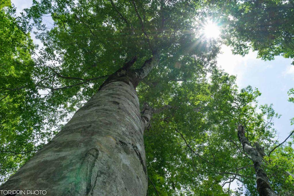 ブナの大木を下から撮影