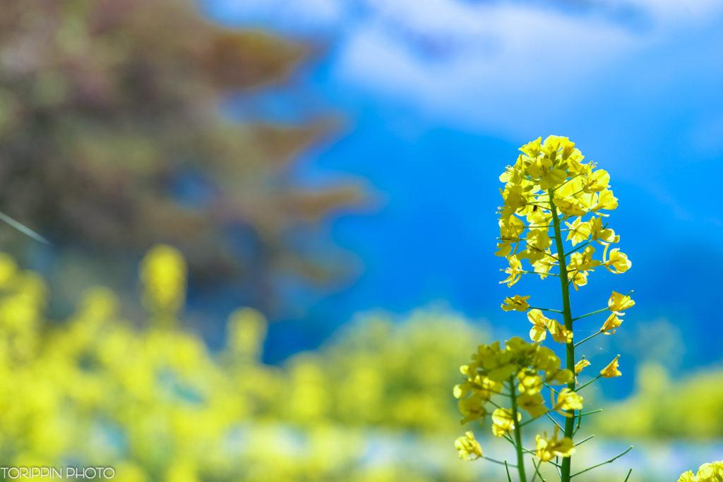 α7ⅡとSTFレンズで撮った菜の花の写真
