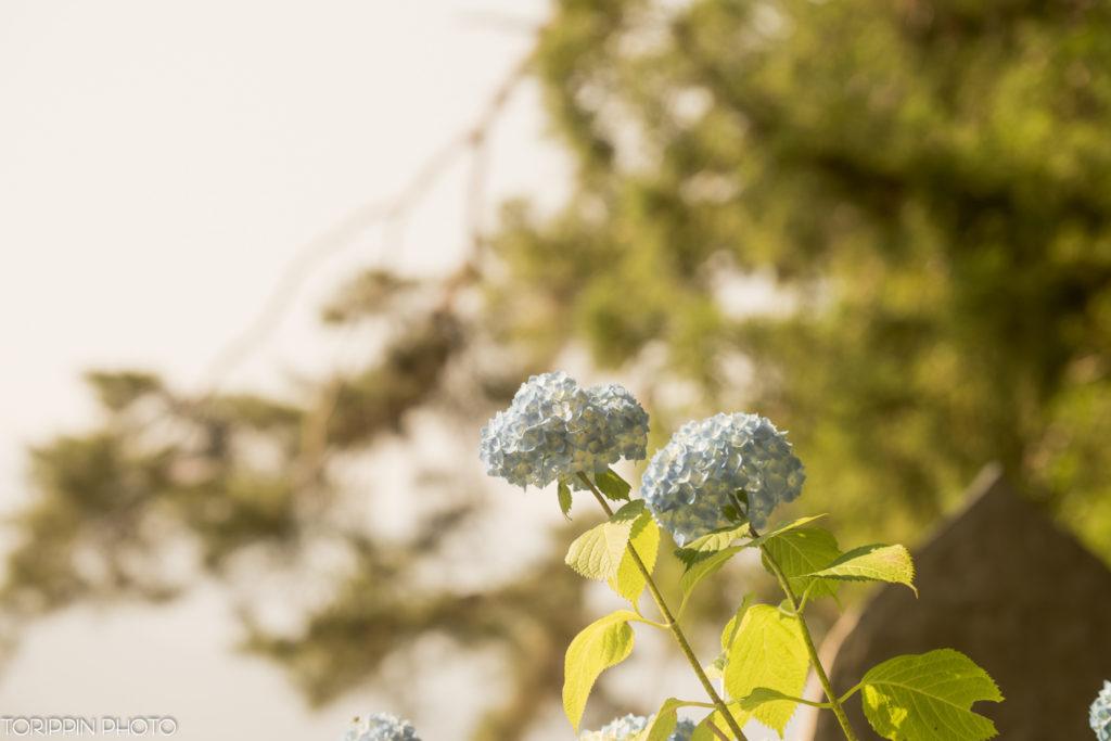 α7ⅡとSEL70200Gで撮影した高源院(あじさい寺)のお花