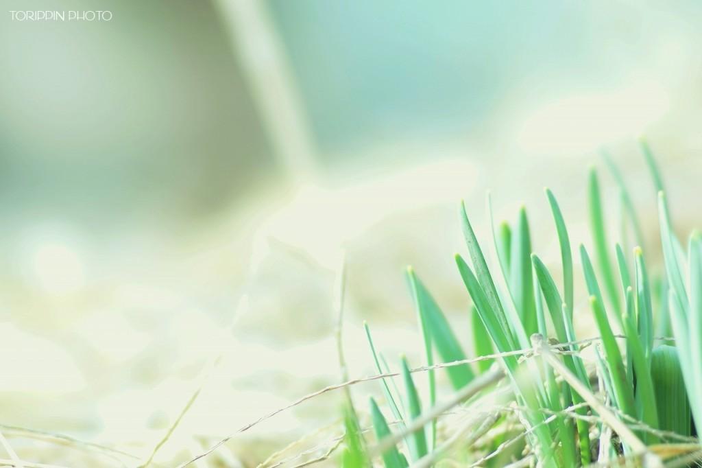 STFレンズを使って撮影したスイセンの新芽の画像