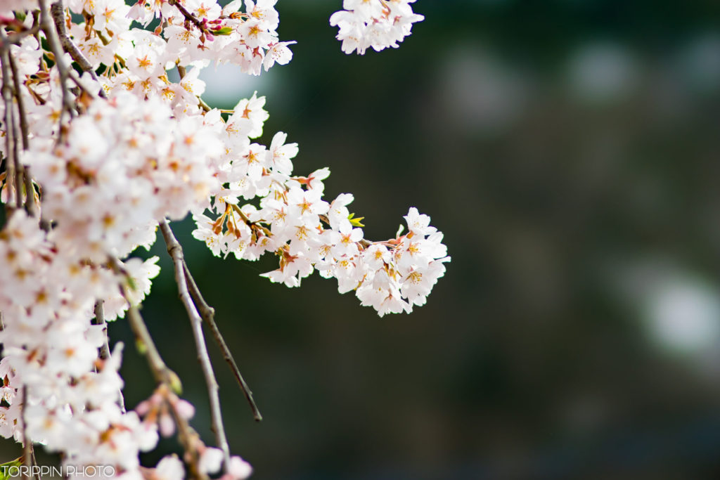 STFで撮った樹齢300年の名木「庚の枝垂れ桜」の画像