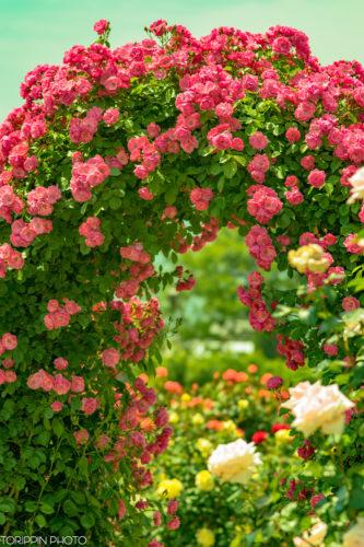 α7ⅡとSTFレンズで撮った薔薇のアーチ