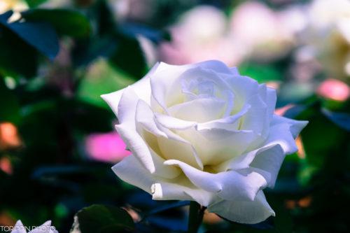 STF135レンズで白いバラを撮影しました