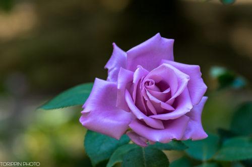 紫色のバラもとっても綺麗でした