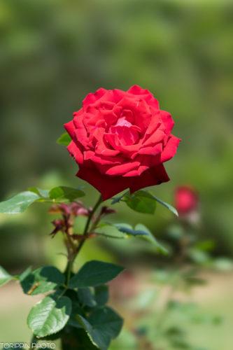 α7ⅡとSTF135で真っ赤なバラを撮影