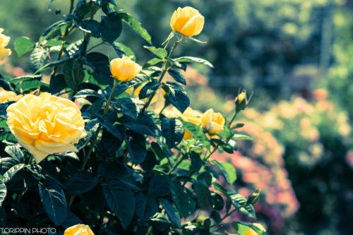 α7ⅡとSAL135F28で撮った黄色いバラ