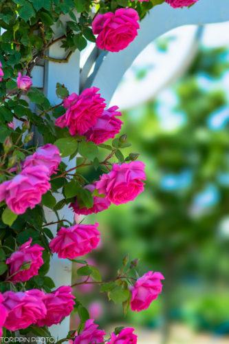 鮮やかに咲き誇るバラたち