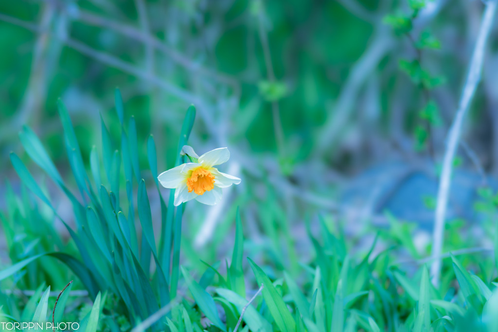 STFレンズを使って撮影したスイセンの花の画像