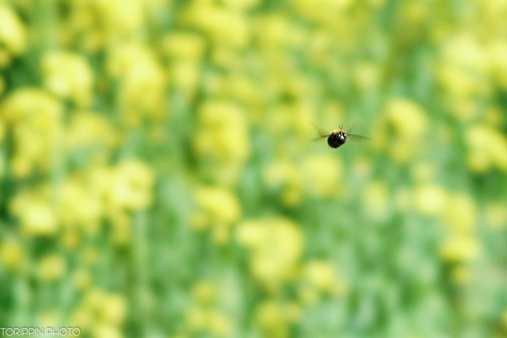 α7ⅡとSTFレンズ(SAL135F28)で撮影した蜂の画像