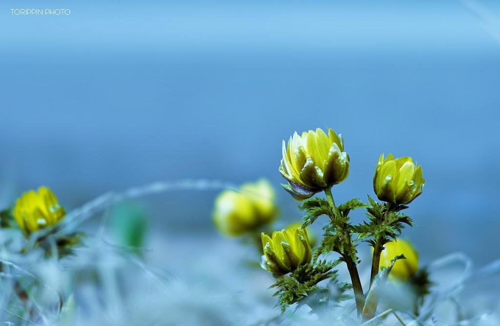 STFレンズを使って撮影した福寿草の画像