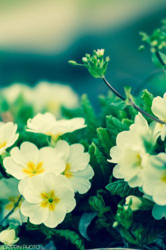 STFレンズを使って撮影した可憐に咲く白い野花の画像