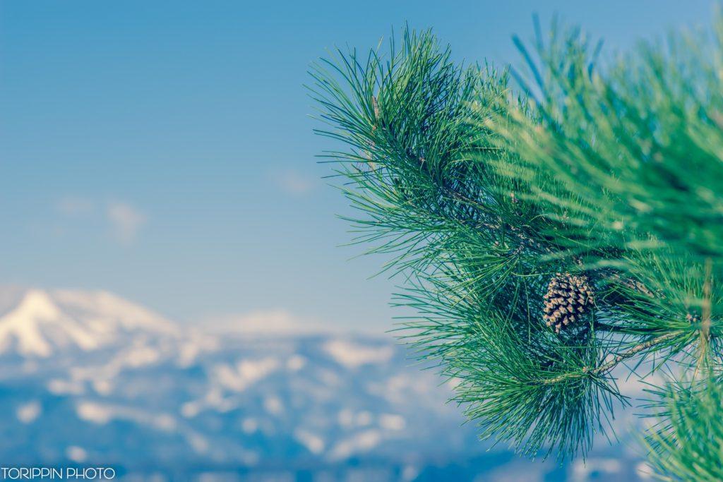 α7ⅡとSTFレンズ(SAL135F28)で撮影したマツボックリと雪の残る山の画像