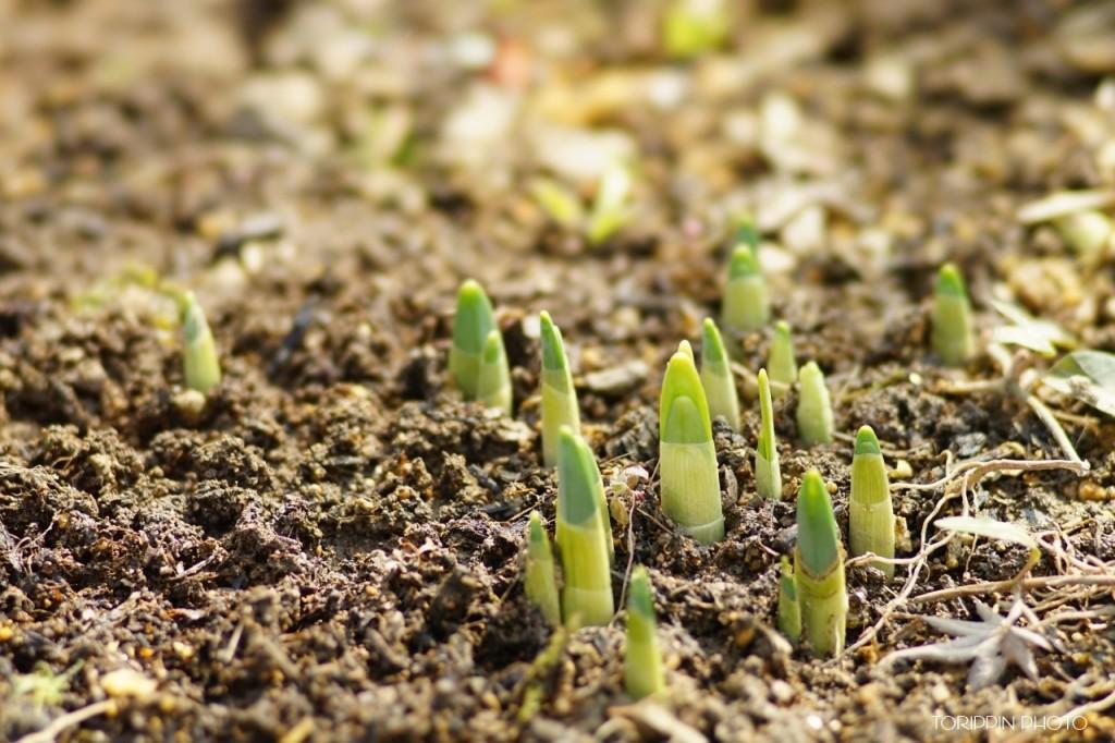 STFレンズを使って撮影した庭の植物の芽吹きの画像