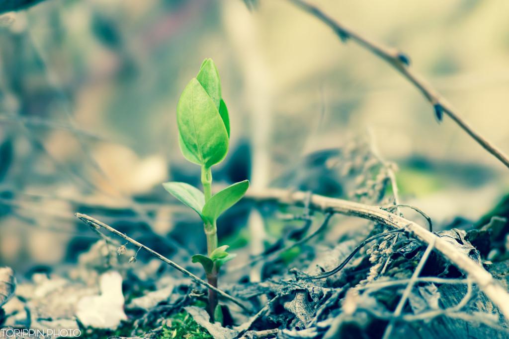 STFレンズを使って撮影した庭先に出てきた新芽の画像