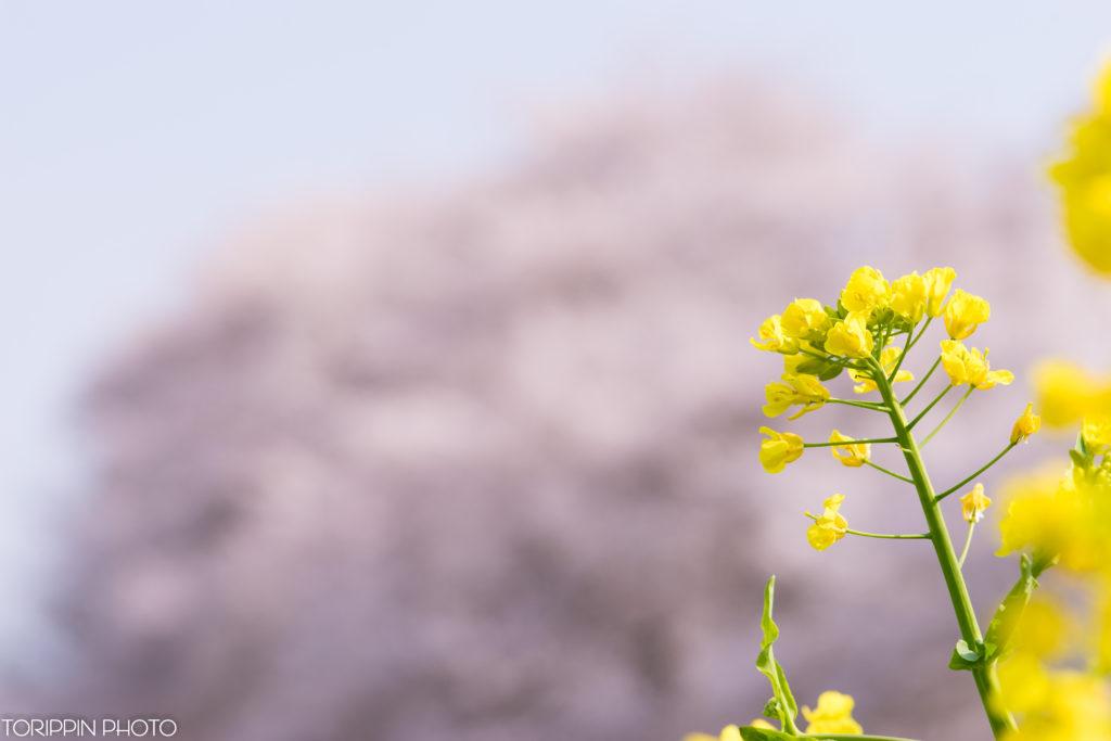 STFレンズとα7Ⅱで青空と桜を背景に使って菜の花を撮影