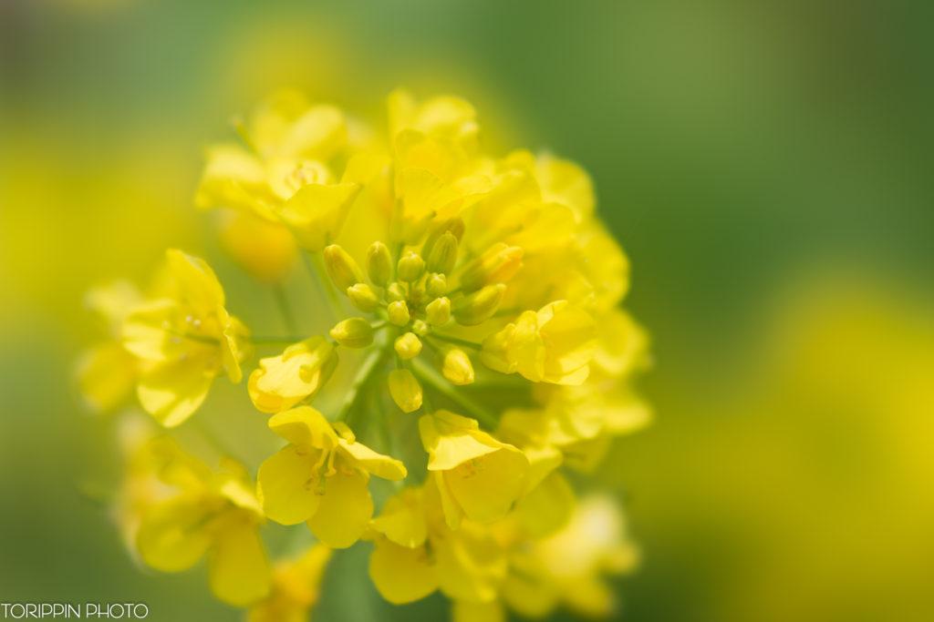 STFレンズにクローズアップレンズを付けて菜の花を接写した画像