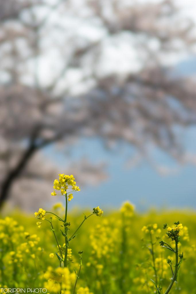 α7ⅡとSTFレンズで撮影した菜の花の画像。背景は桜