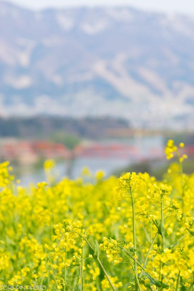 STFとα7Ⅱで菜の花とのどかな風景を撮影