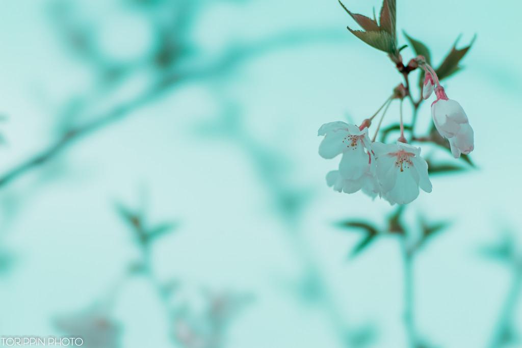 STFにクローズアップレンズを付けて撮影した桜の花