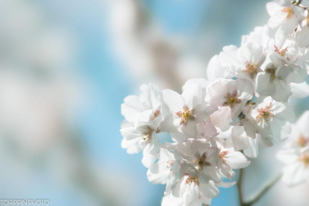 STFレンズとα7Ⅱで撮影した桜の花の画像