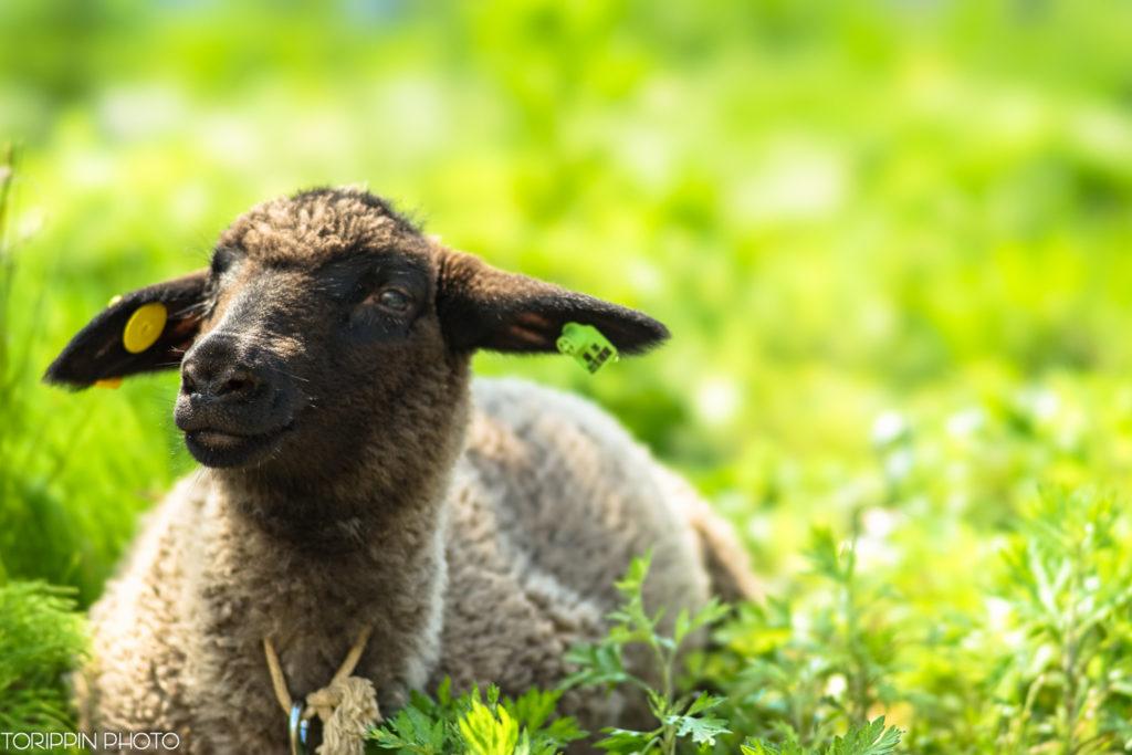 α7ⅡとSTFレンズで撮った子羊さん