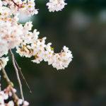 STFレンズで撮った樹齢300年の名木!庚のしだれ桜の画像
